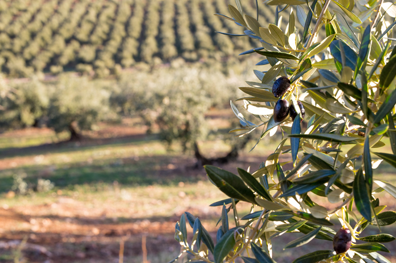 Picual olive oil, one of the finest varieties.