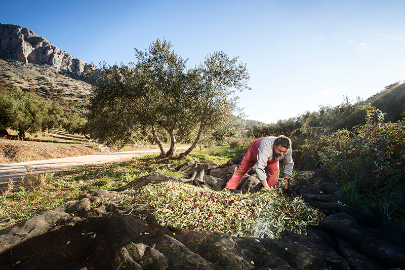 When are olive trees pruned?