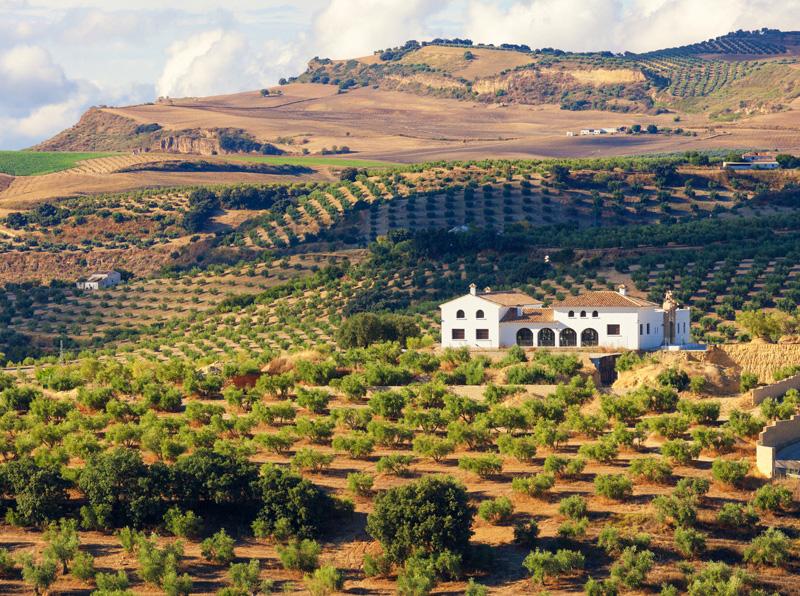 Types of Spanish olive trees