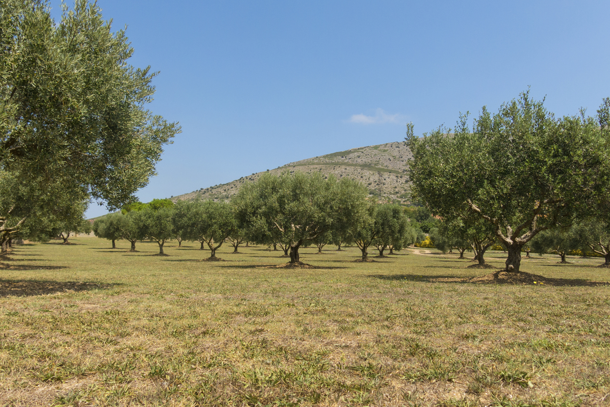 How big can olive trees grow?