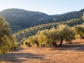 Organic olive oil: its characteristics and which dishes to use it in.