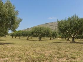 ¿Cuánto pueden llegar a crecer los olivos?